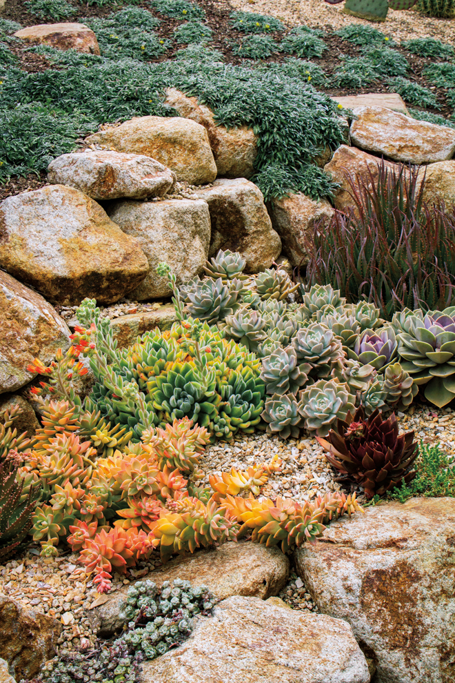 Crowded together like actors on a stage, these succulents mingle on a terrace between rock retaining walls. Left to right, they include Graptosedum 'Golden Glow', a clump of orange-flowered, blue-green Echeveria 'Doris Taylor'; silvery blue Graptoveria 'Fred Ives'; Aloe 'Blue Elf', whose upright leaves have pointy tips tinged with reddish purple; and a single Echeveria 'Black Prince'.  Photo: Doreen L. Wynja