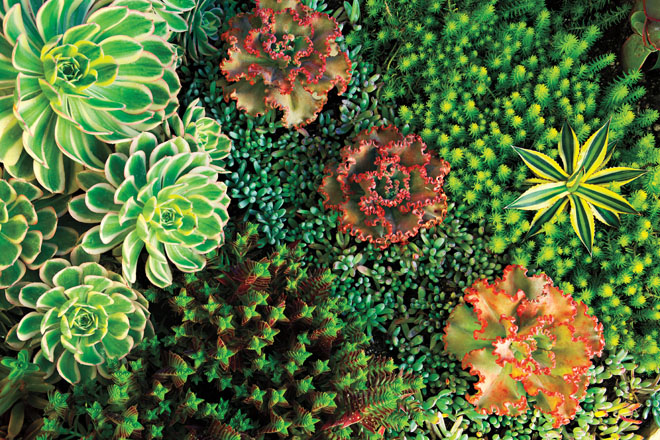 This colorful collage includes six species: variegated Aeonium 'Sunburst' (top left), which contrasts with the tiny green stars of Crassula capitella ssp. thyrsiflora 'Shark's Tooth'; a trio of rosy, ruffly-leafed Echeveria gibbiflora in a band of blue Senecio serpens (center); and yellow striped Agave lophantha 'Quadricolor' (right), which appears to float in the bed of greenish yellow Sedum rupestre 'Angelina'.  Photo: Bret Gum