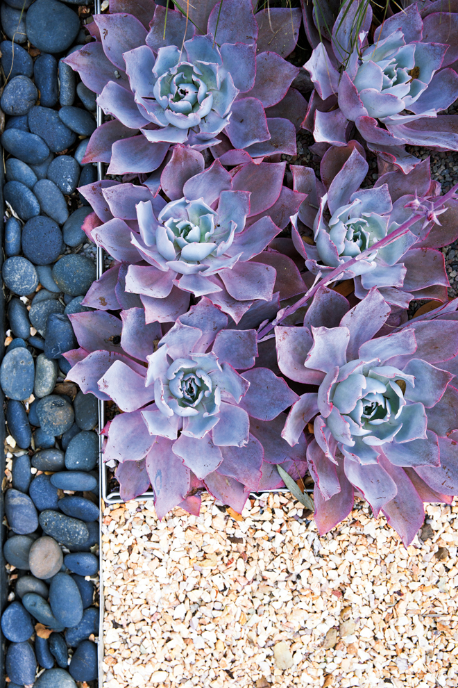 Neat rosettes of Echeveria 'Afterglow' are arranged shoulder-to-shoulder in a raised bed, edged with blue river rock andtaffy-colored gravel. Small enough to view up close, the bed resembles a living picture, or knobby carpet, spread out on the ground.  Photo: Thomas Story