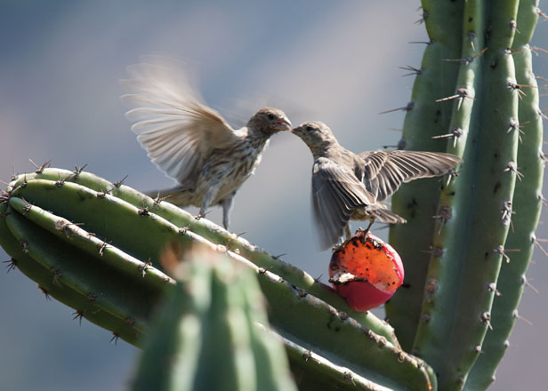 A house finch feeding a hungry juvenile. Photo: Susan Gottlieb