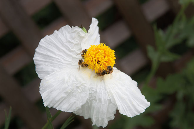 Honey bees on Matillja poppy (Romneya coulteri). Photo: Susan Gottlieb