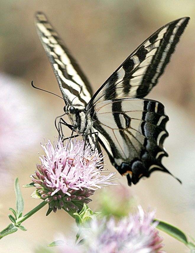 A pale swallowtail butterfly on coyote mint. Photo: Susan Gottlieb