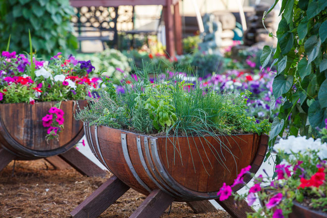 Herb barrels with basil and chives for sensory therapy in Community Garden of Healdsburg Senior Living Center, California. Photo: Saxon Holt