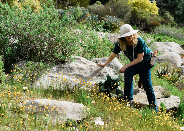 Horticulturist Meghan Ray scales a rocky hillside to tend the Karoo display in the UCBG Southern Africa collection. Photo: Ryan Tuttle