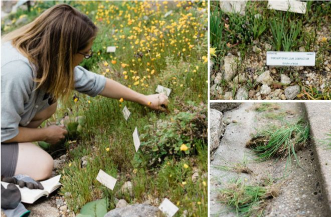 Removing grasses and other weeds from between the rocks and emerging plants in the Karoo display requires knowledge and a fine touch. Photos: Ryan Tuttle