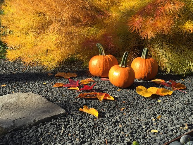 Ripe pumpkins and the golden foliage of Amsonia hubrichtii mark natural rhythms and ground us in the season. Photo: P. Annie Kirk
