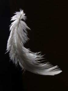 Photo study of a chicken feather. Photo: Hariadhi CC BY-SA 3.0
