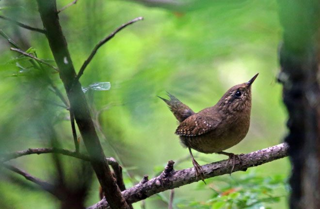 Pacific Wren. Photo: Peter Pearsall, U.S. Fish and Wildlife Service