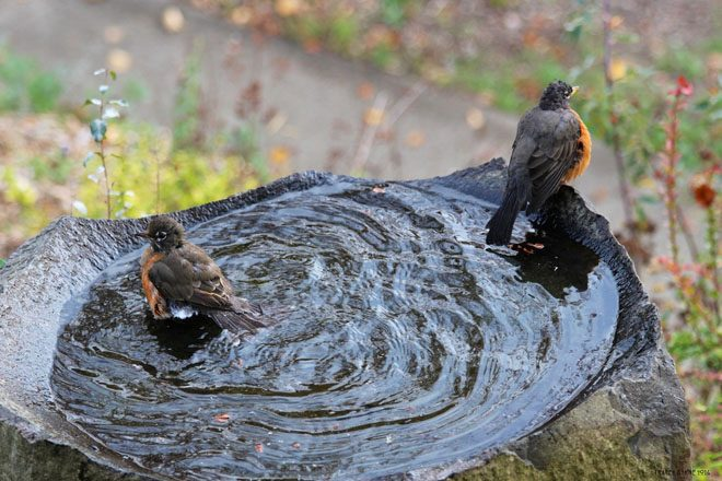 American Robins bathing in a stone birdbath in the author's garden. Photo: Tracey Byrne