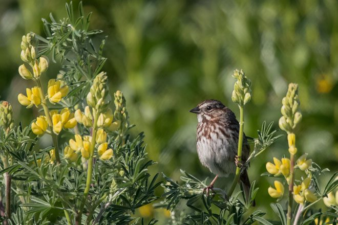 Song Sparrow on coastal bush lupine. (Lupinus arboreus). Photo: Peter Pearsall, U.S. Fish and Wildlife Service
