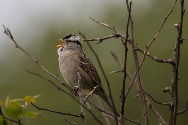White-crowned Sparrow. Photo: Peter Pearsall/U.S. Fish and Wildlife Service