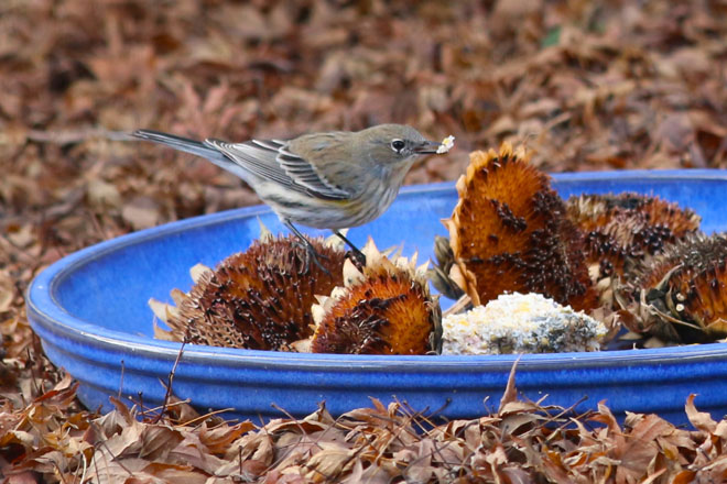 A Yellow-rumped Warbler feeding on sunflower seed heads. Photo: Tracey Byrne
