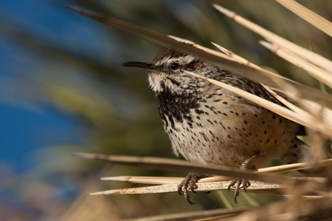 Cactus Wren. Photo: Peter Pearsall, U.S. Fish and Wildlife Service