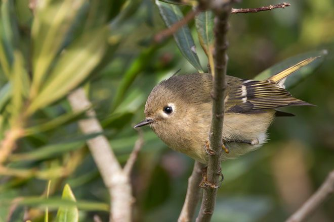 Kinglet. Photo: Peter Pearsall, U.S. Fish and Wildlife Service