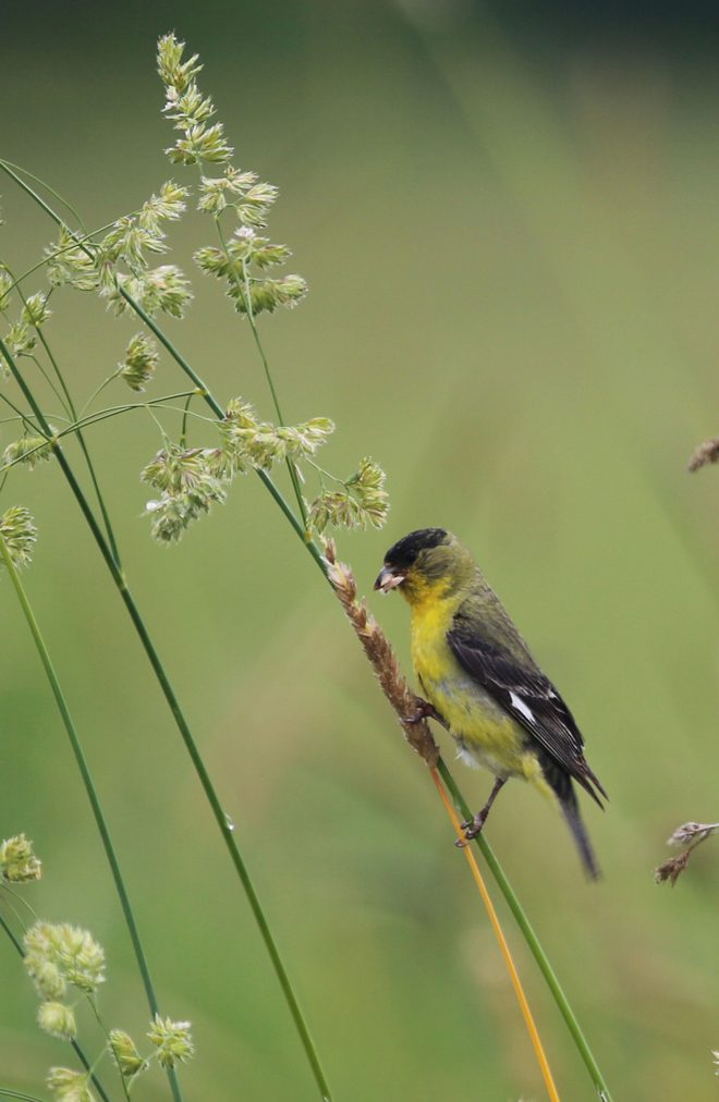 Lesser Goldfinch. Photo: Peter Pearsall, U.S. Fish and Wildlife Service