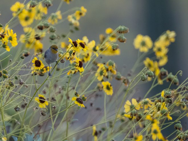 Verdin on Encelia californica Photo: Peter Pearsall, U.S. Fish and Wildlife Service