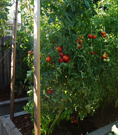 Training tomatoes on vertical cordons is an efficient use of limited space at East Sac Farm. Photo: Melissa Keyser