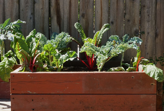Raised beds at Purdy Urban Farm are planted with colorful chard. Photo: Melissa Keyser