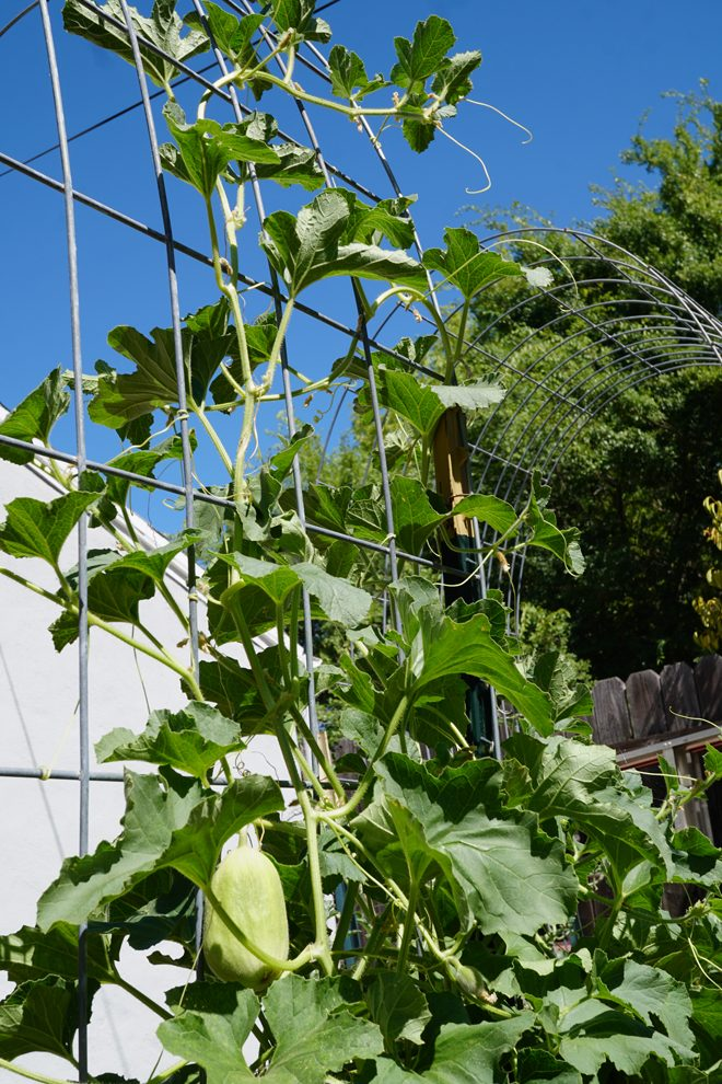 Growing melons vertically on a wire trellis is a space saving measure at Purdy Urban Farm. Photo: Melissa Keyser