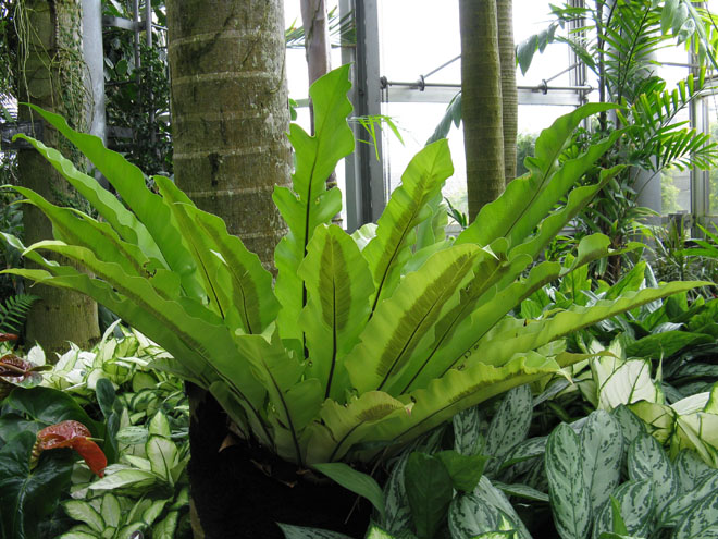 Weed Identification for Perennial Broadleaf Weeds Broad leaf fern pictures