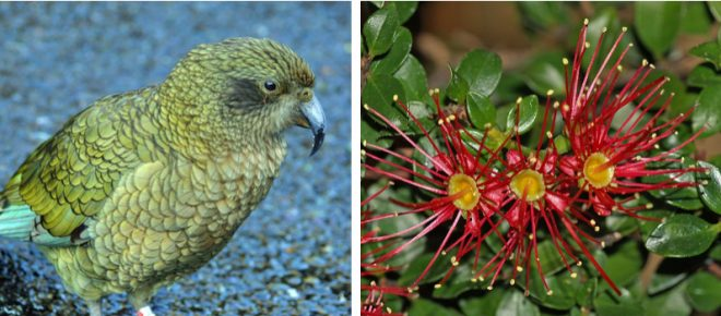 Left: The kea, a large species of alpine parrot, was voted New Zealand's bird of the year in 2017. Right: Climbing rata (Metrosideros perforata). Photos: courtesy of Betchart Expeditions
