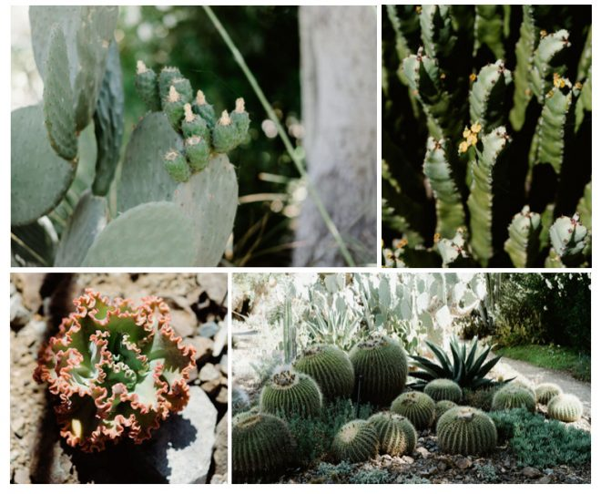 Contrasting shapes and forms of cacti and succulents in the garden strengthen a composition of primarily cool green hues. Top left: Engelmann prickly pear (Opuntia engelmannii), Top right: Resin spurge (Euphorbia resinifera), and bottom left: Echeveria 'Lace'. Photos: Ryan Tuttle