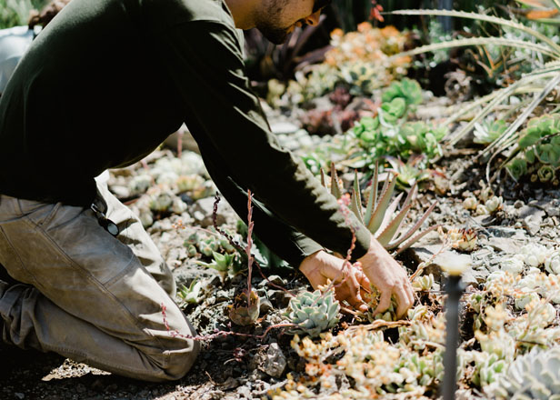 Cleaning spent foliage from among succulents. Photo: Ryan Tuttle