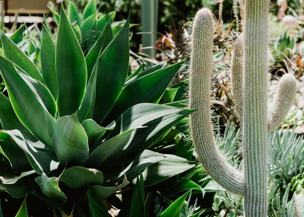 Attention to contrast in color and form is demonstrated in this planting composition of fox tail agave (Agave attenuata), left, and Espostoa melanostele, a slow-growing columnar cactus covered with dense white hairs and golden spines. photo: Ryan Tuttle