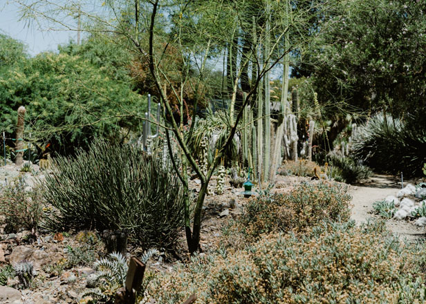 The leaves of a Mexican palo verde (Parkinsonia aculeata) provide a soft, transparent look and contrast against the more regular, bold 