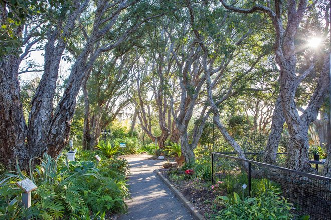 A shady path through the Mediterranean Garden at San Diego Botanical Garden passes beneath an intertwined canopy of cork oak. Photo: Saxon Holt