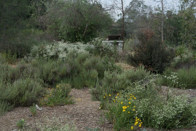 Locally native plants like bush sunflower (Encelia californica), California buckwheat (Eriogonum fasciculatm), and sages (Salvia spp.) are naturalizing to form low cover for birds, insects and other fauna. Photo: Barbara Eisenstein