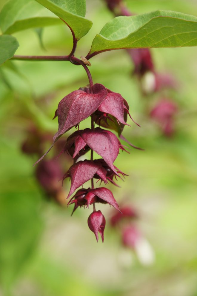 Himalayan honeysuckle (Leycesteria formosa). Photo: Alwyn Ladell via Flickr creative commons
