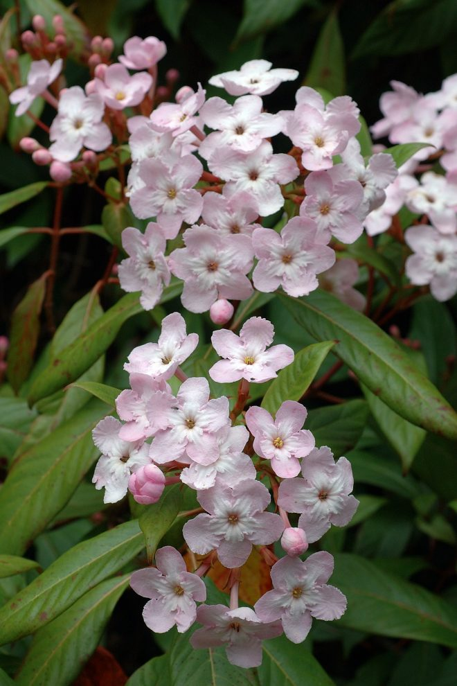 Luculia pinceana var. pinceana photographed at Strybing Arboretum. Photo: Eric Hunt via Flickr creative commons