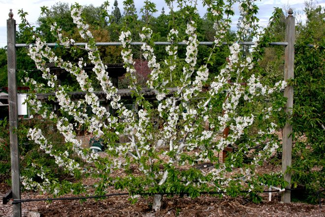 A blossoming cherry espalier in the Fair Oaks Horticultural Center Orchard. Photo: Chuck Ingels