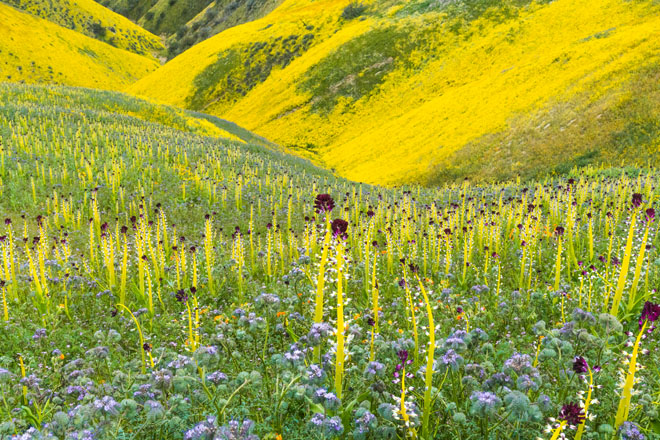 A dazzling carpet of desert candle (Caulanthus inflatus), lacy phacelia (Phacelia tanacetifolia), and hillside 