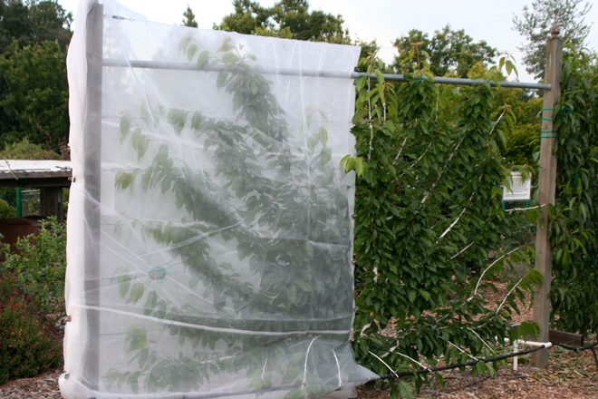 Tenting this espaliered cherry tree helps keep foliage dry and reduce the need for copper and other fungicide sprays. Photo: Chuck Ingels