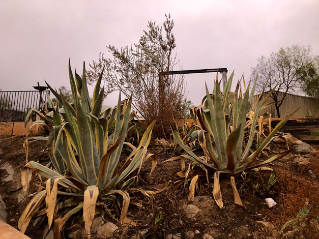 Lantana and rosemary on the hillside didn't come through, but the agaves survived. Photo: Jacqui Bally