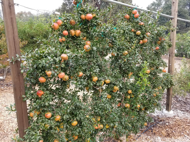A heavy harvest of pomegranates ripening on an efficient, space-saving espalier. Photo: Chuck Ingels