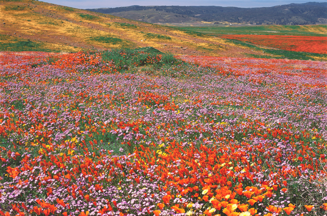 Antelope Valley California Poppy Reserve in Los Angeles County, awash in color from California poppies (Eschscholzia californica) and bird's-eye gilia (Gilia tricolor). Photo: Rob Badger & Nita Winter
