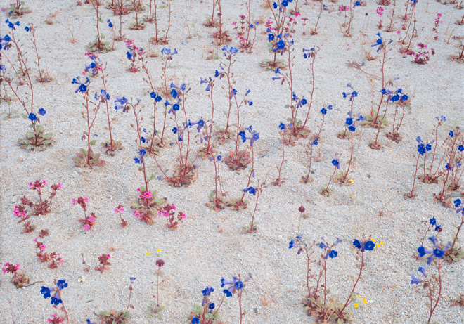 Bright blue desert Canterbury bells (Phacelia campanularia) and Bigelow's monkey flower (Mimulus bigelovii) blossoming in a desert wash in Joshua Tree National Park. Photo: Rob Badger & Nita Winter
