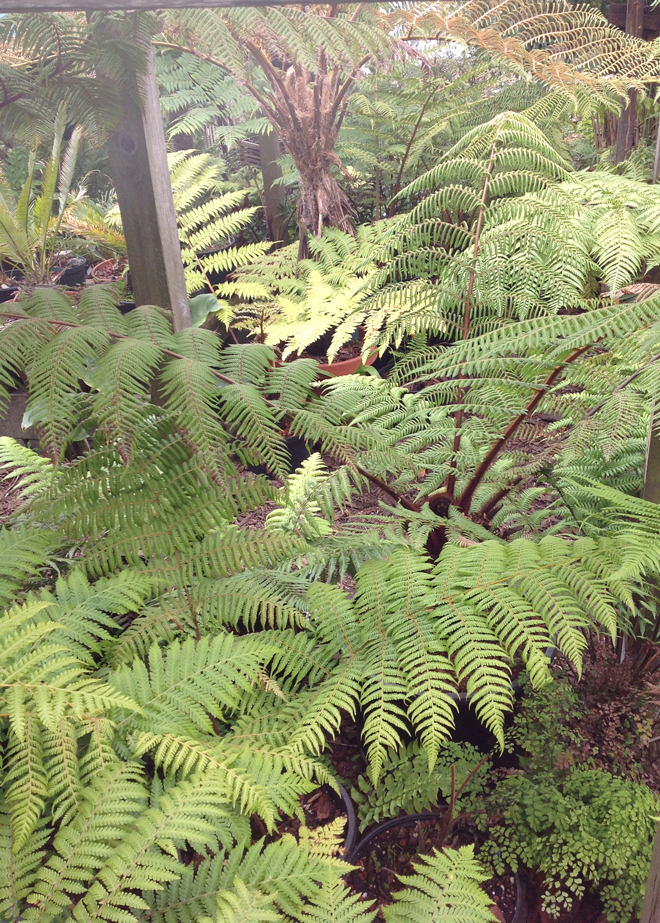 Lush layers of tree ferns populate the Pacifica garden of Daniel Yansura.  Photo: Josh Schechtel