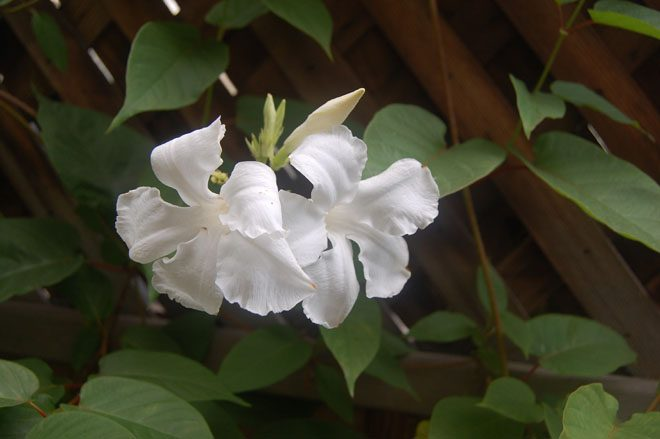 Mandevilla laxa.  Photo: Earl Nickel