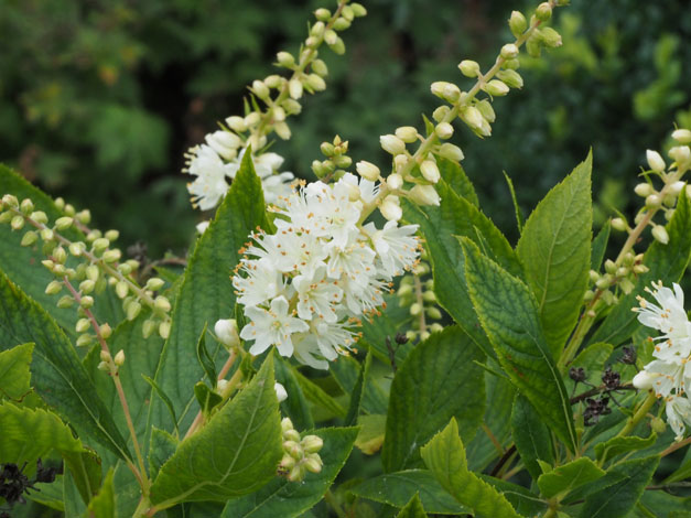 Clethra alnifolia.  Photo: Wikimedia Commons