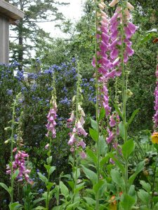 Pink foxgloves (Digitalis purpurea) and California lilac (Ceanothus sp.) enliven the mostly green landscape. Photo: Julie Monson