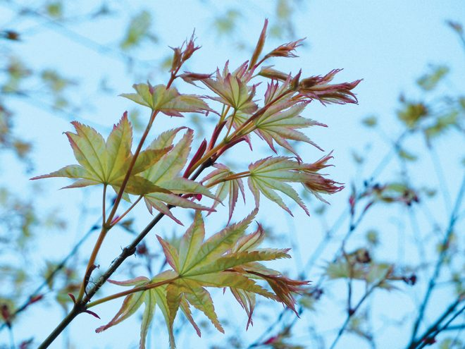 Emerging Japanese maple leaves in spring, flushed with pink. Photo: Julie Monson