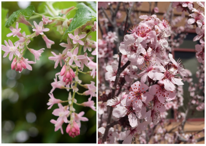 Left: California native flowering currant (Ribes sanguineum) thrives in cool coastal conditions. Photo: Richie Steffen/Great Plant Picks. Right: Flowering plum (Prunus ×blireana). Photo: Famartin via Wikimedia commons