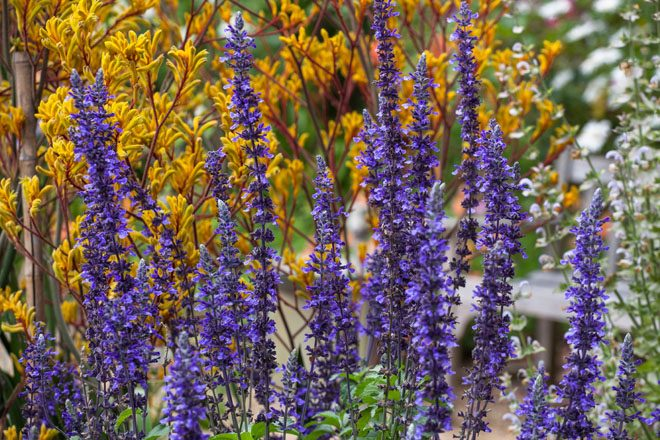 Salvia 'Mystic Spires Blue' with golden kangaroo paws (Anigozanthos sp.). Photo: Saxon Holt/PhotoBotanic