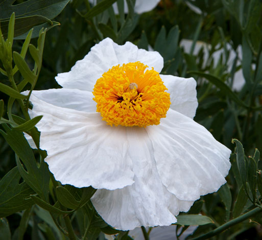 California Tree Poppy or Matilija poppy (Romneya coulteri). Photo: Saxon Holt/PhotoBotanic