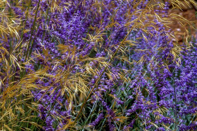 Giant feather grass (Stipa gigantea) and deep purple Russian sage (Perovskia atriplicifolia). Photo: Saxon Holt/PhotoBotanic