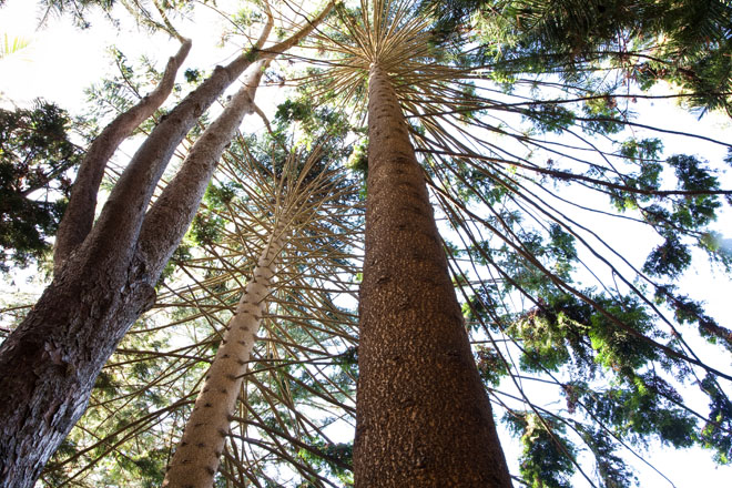 Norfolk Island Pine (Araucaria heterophylla. Photo: Saxon Holt